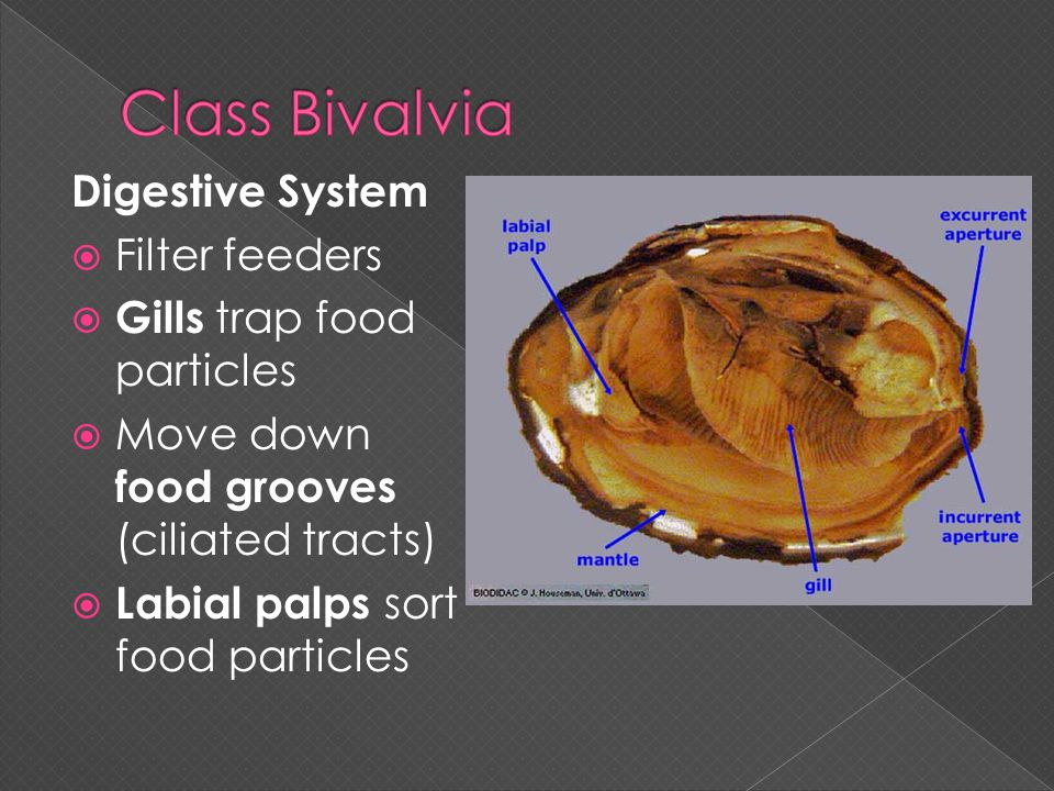 Digestive System  Filter feeders  Gills trap food particles  Move down food grooves (ciliated tracts)  Labial palps sort food particles