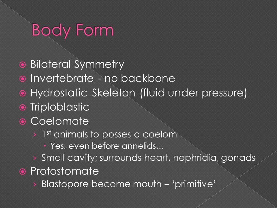  Bilateral Symmetry  Invertebrate - no backbone  Hydrostatic Skeleton (fluid under pressure)  Triploblastic  Coelomate › 1 st animals to posses a
