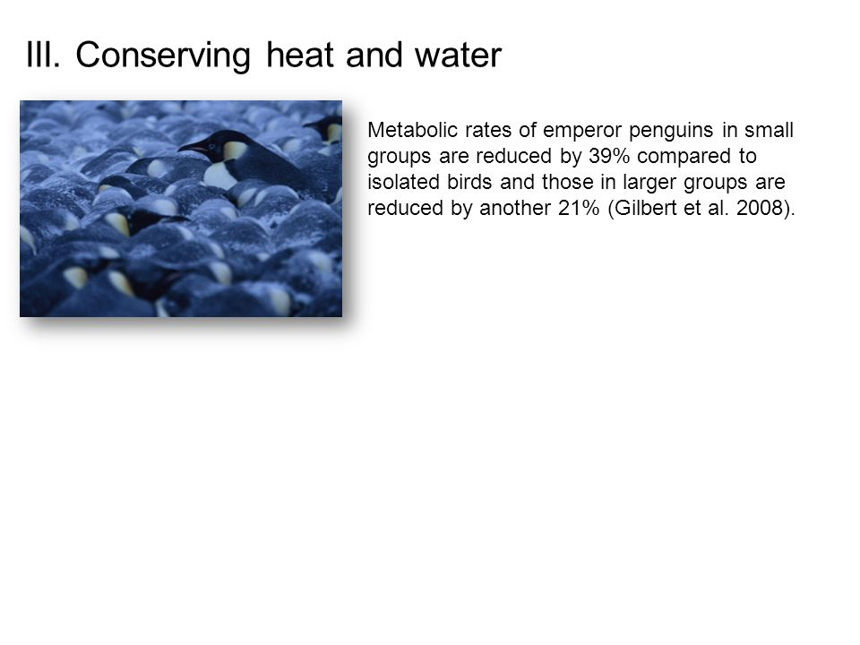 Metabolic rates of emperor penguins in small groups are reduced by 39% compared to isolated birds and those in larger groups are reduced by another 21% (Gilbert et al.