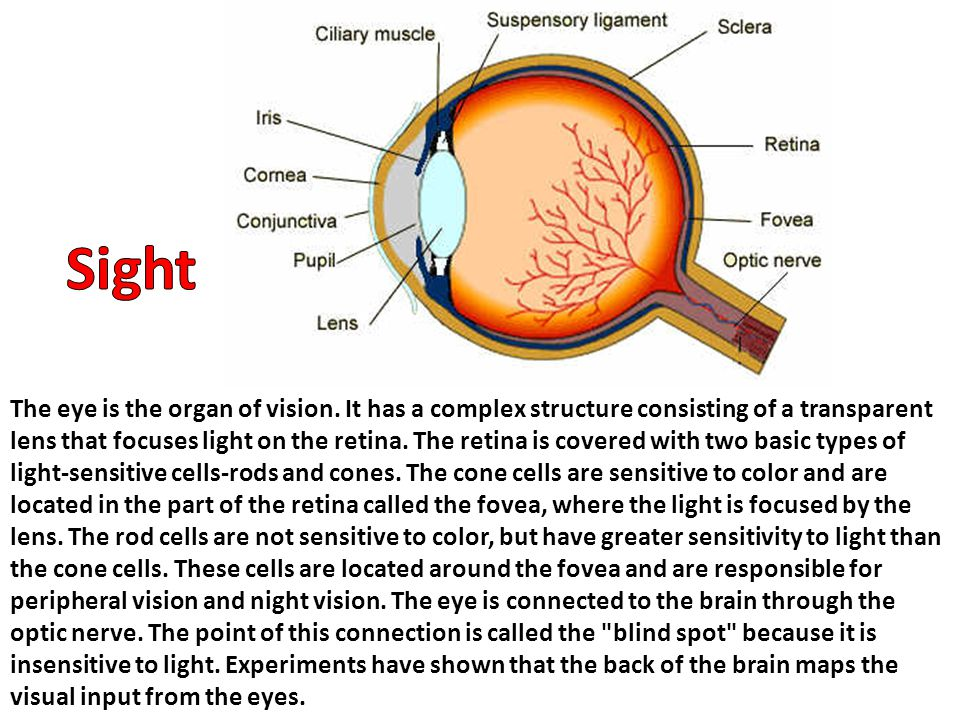 The eye is the organ of vision. It has a complex structure consisting of a transparent lens that focuses light on the retina. The retina is covered wi