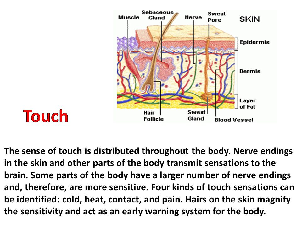 The sense of touch is distributed throughout the body. Nerve endings in the skin and other parts of the body transmit sensations to the brain. Some pa