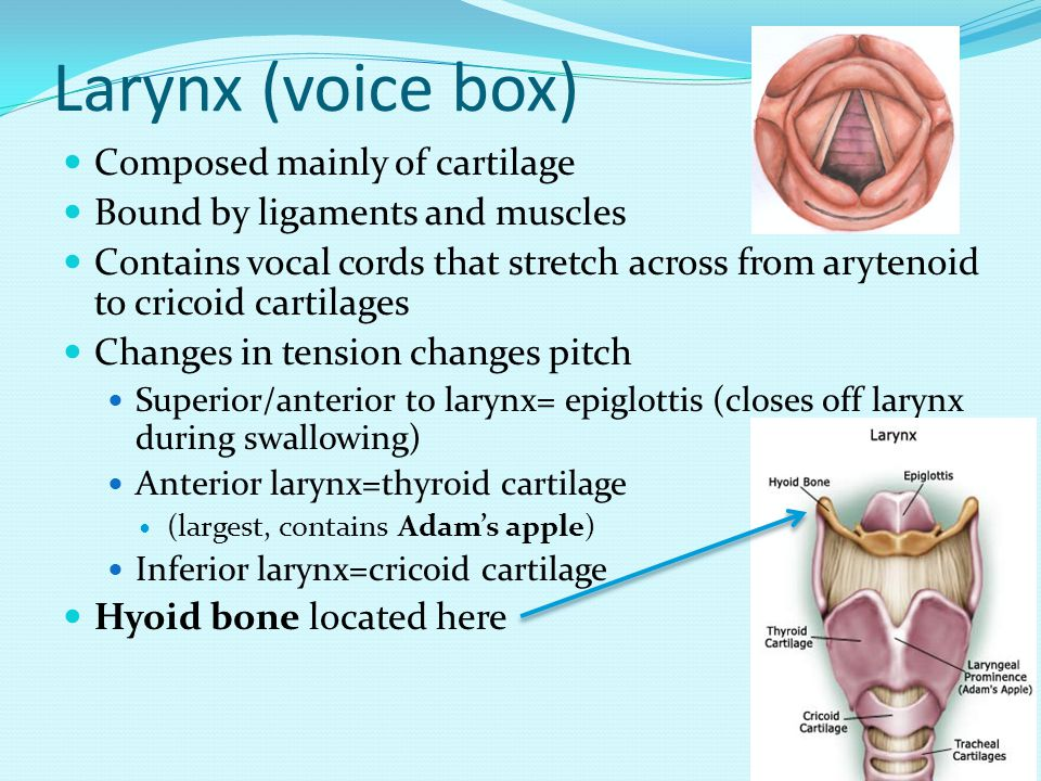 Larynx (voice box) Composed mainly of cartilage Bound by ligaments and muscles Contains vocal cords that stretch across from arytenoid to cricoid cartilages Changes in tension changes pitch Superior/anterior to larynx= epiglottis (closes off larynx during swallowing) Anterior larynx=thyroid cartilage (largest, contains Adam's apple) Inferior larynx=cricoid cartilage Hyoid bone located here