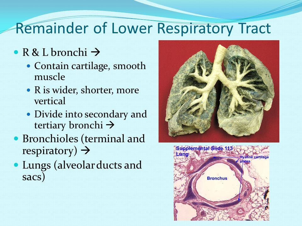 Remainder of Lower Respiratory Tract R & L bronchi  Contain cartilage, smooth muscle R is wider, shorter, more vertical Divide into secondary and tertiary bronchi  Bronchioles (terminal and respiratory)  Lungs (alveolar ducts and sacs)