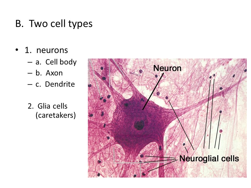 B. Two cell types 1. neurons – a. Cell body – b. Axon – c. Dendrite 2. Glia cells (caretakers)
