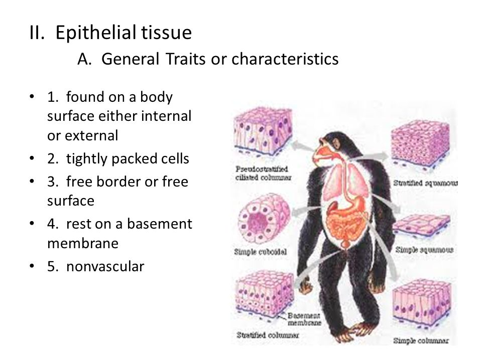 II. Epithelial tissue A. General Traits or characteristics 1.