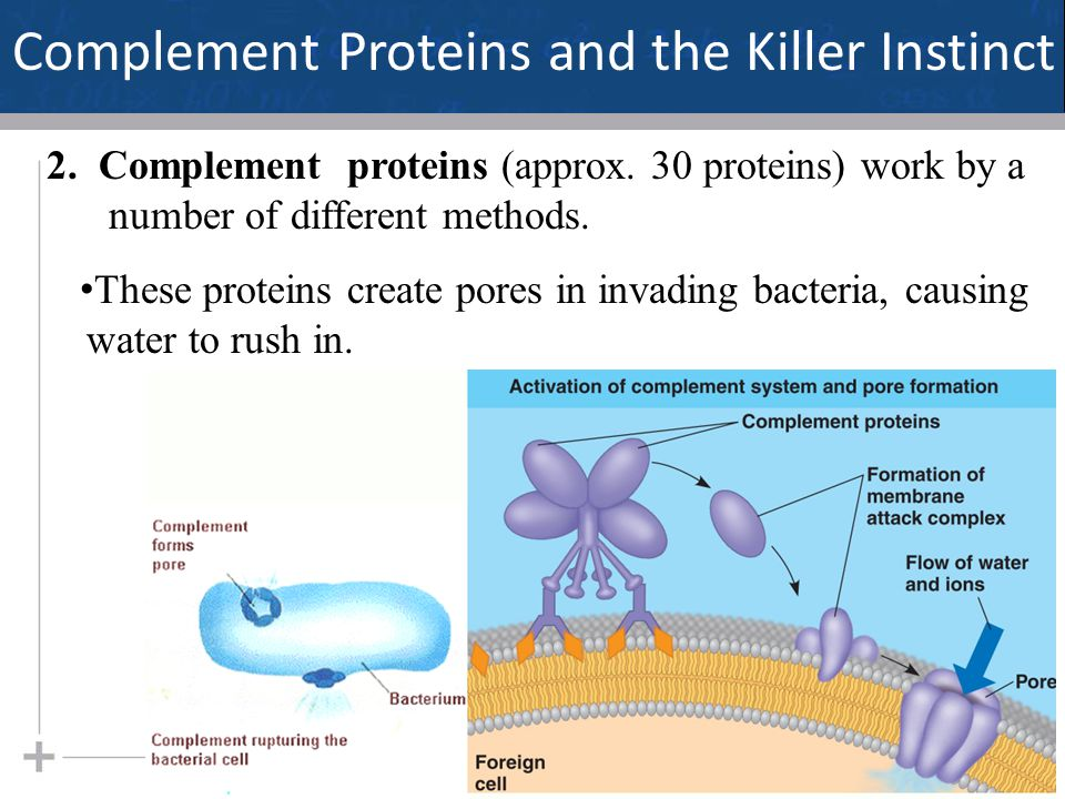 17 Complement Proteins and the Killer Instinct 2. Complement proteins (approx. 30 proteins) work by a number of different methods. These proteins crea
