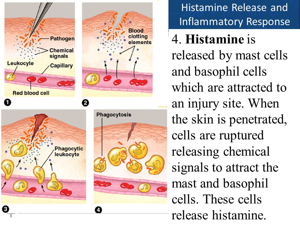 21 Histamine Release and Inflammatory Response 4. Histamine is released by mast cells and basophil cells which are attracted to an injury site. When t