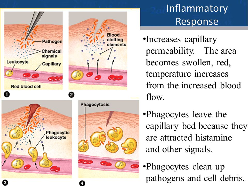 22 Inflammatory Response Increases capillary permeability. The area becomes swollen, red, temperature increases from the increased blood flow. Phagocy
