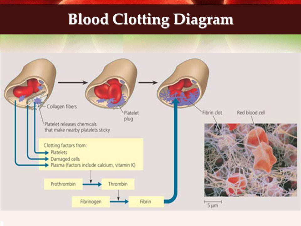 Blood Clotting Diagram
