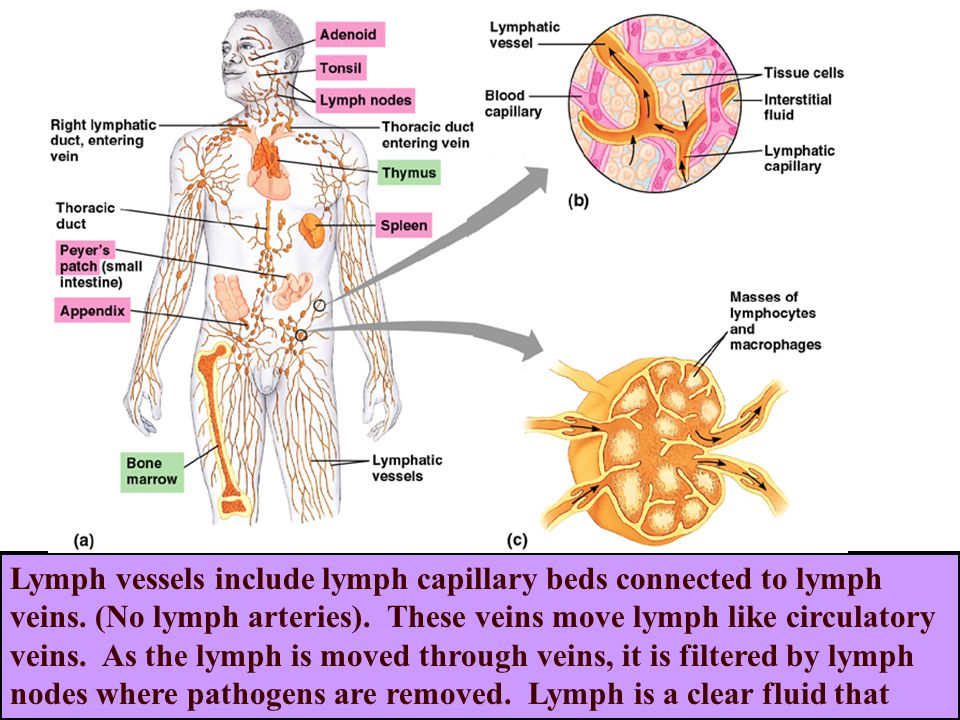 Lymph vessels include lymph capillary beds connected to lymph veins.