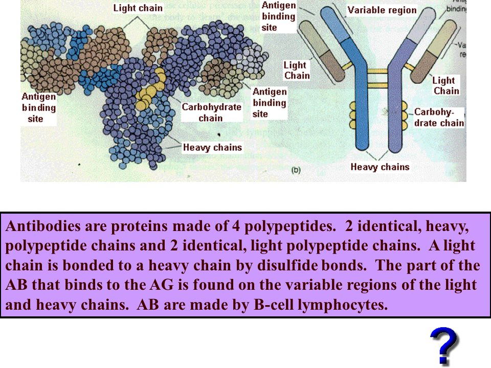 Antibodies are proteins made of 4 polypeptides.