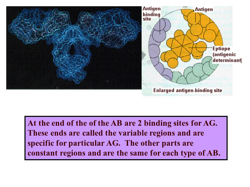 At the end of the of the AB are 2 binding sites for AG.