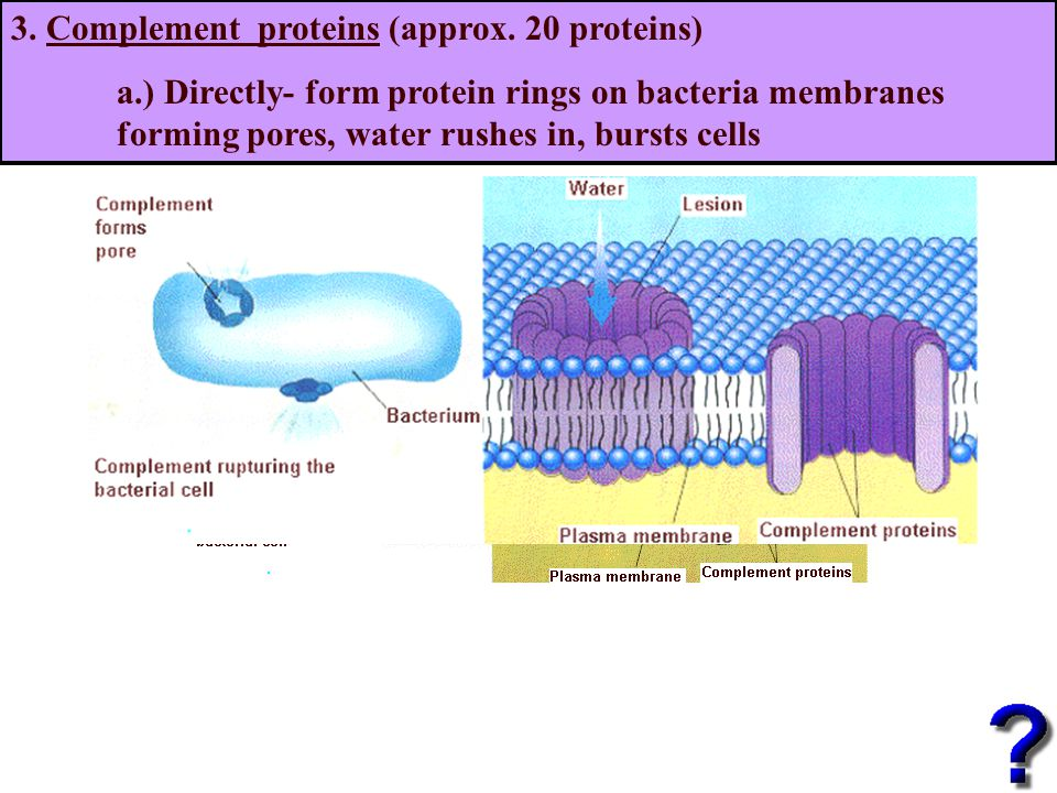 3. Complement proteins (approx.