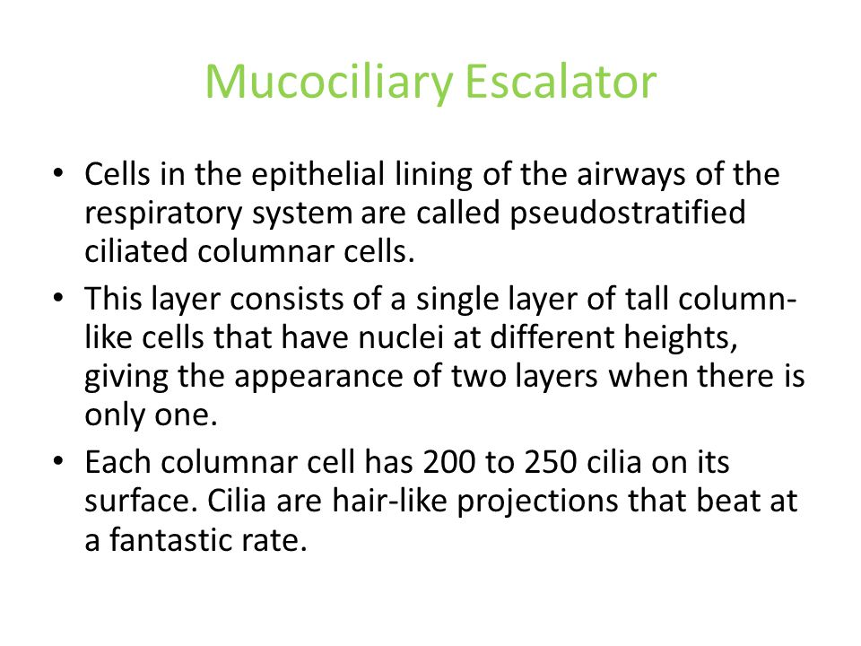 Mucociliary Escalator Cells in the epithelial lining of the airways of the respiratory system are called pseudostratified ciliated columnar cells. Thi