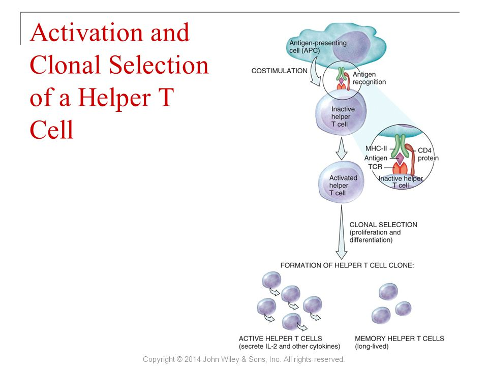 Activation and Clonal Selection of a Helper T Cell Copyright © 2014 John Wiley & Sons, Inc.