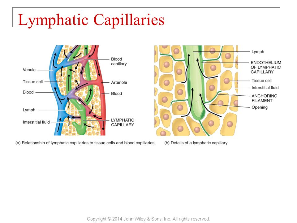 Lymphatic Capillaries Copyright © 2014 John Wiley & Sons, Inc. All rights reserved.