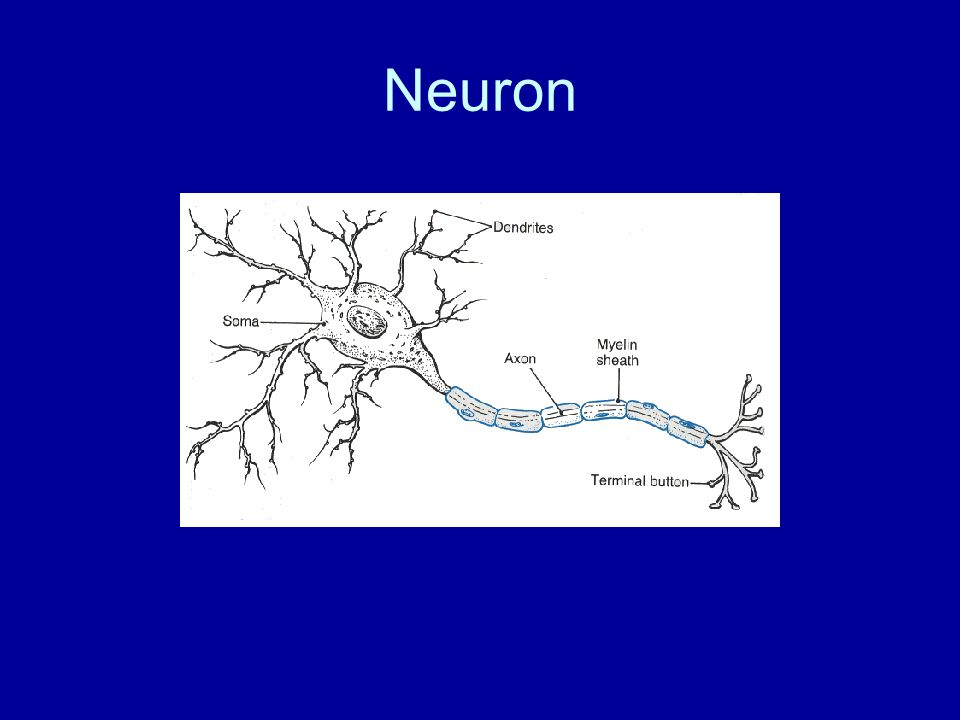 Serous Membrane (cont) A transudate or serous fluid covers the parietal and visceral surfaces and minimizes friction between the opposing surfaces.