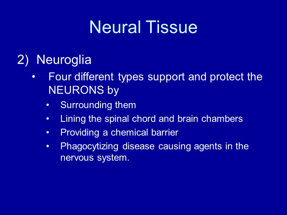 Neural Tissue 2)Neuroglia Four different types support and protect the NEURONS by Surrounding them Lining the spinal chord and brain chambers Providing a chemical barrier Phagocytizing disease causing agents in the nervous system.