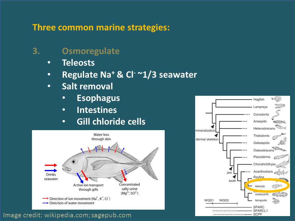 Three common marine strategies: 3.Osmoregulate Teleosts Regulate Na + & Cl - ~1/3 seawater Salt removal Esophagus Intestines Gill chloride cells Image