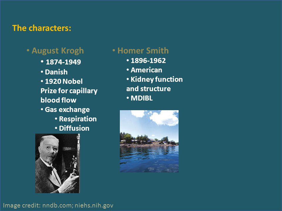 The characters: August Krogh 1874-1949 Danish 1920 Nobel Prize for capillary blood flow Gas exchange Respiration Diffusion Homer Smith 1896-1962 Ameri