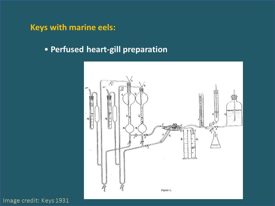 Keys with marine eels: Perfused heart-gill preparation Image credit: Keys 1931