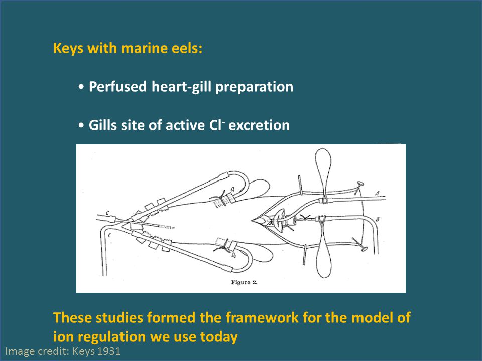 Keys with marine eels: Perfused heart-gill preparation Gills site of active Cl - excretion These studies formed the framework for the model of ion regulation we use today Image credit: Keys 1931