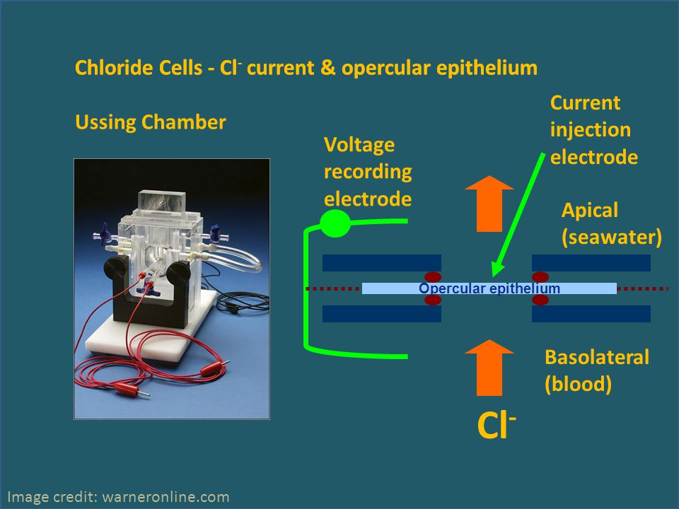 Chloride Cells - Cl - current & opercular epithelium Ussing Chamber Image credit: warneronline.com Apical (seawater) Basolateral (blood) Current injection electrode Voltage recording electrode Cl - Opercular epithelium