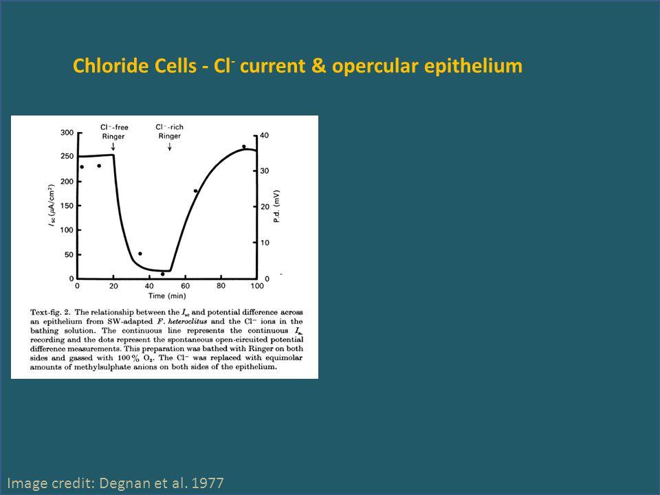 Chloride Cells - Cl - current & opercular epithelium Image credit: Degnan et al. 1977