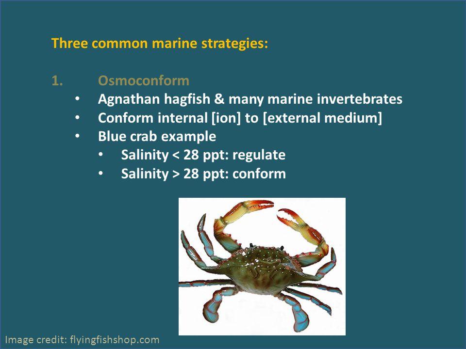 Three common marine strategies: 1.Osmoconform Agnathan hagfish & many marine invertebrates Conform internal [ion] to [external medium] Blue crab examp