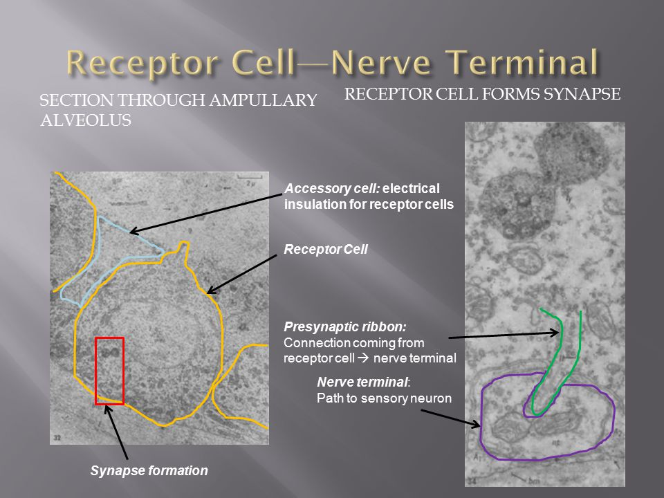 SECTION THROUGH AMPULLARY ALVEOLUS RECEPTOR CELL FORMS SYNAPSE Nerve terminal: Path to sensory neuron Presynaptic ribbon: Connection coming from receptor cell  nerve terminal Receptor Cell Synapse formation Accessory cell: electrical insulation for receptor cells
