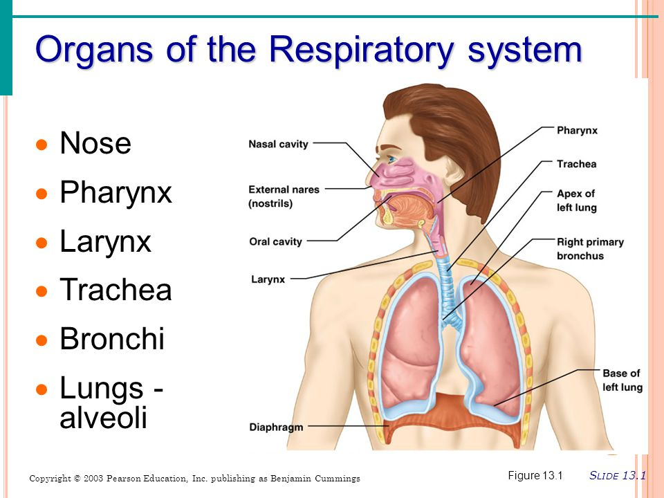 Organs of the Respiratory system S LIDE 13.1 Copyright © 2003 Pearson Education, Inc.