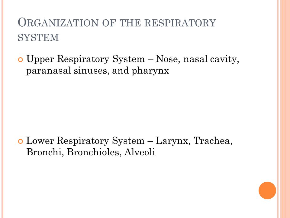 O RGANIZATION OF THE RESPIRATORY SYSTEM Upper Respiratory System – Nose, nasal cavity, paranasal sinuses, and pharynx Lower Respiratory System – Larynx, Trachea, Bronchi, Bronchioles, Alveoli