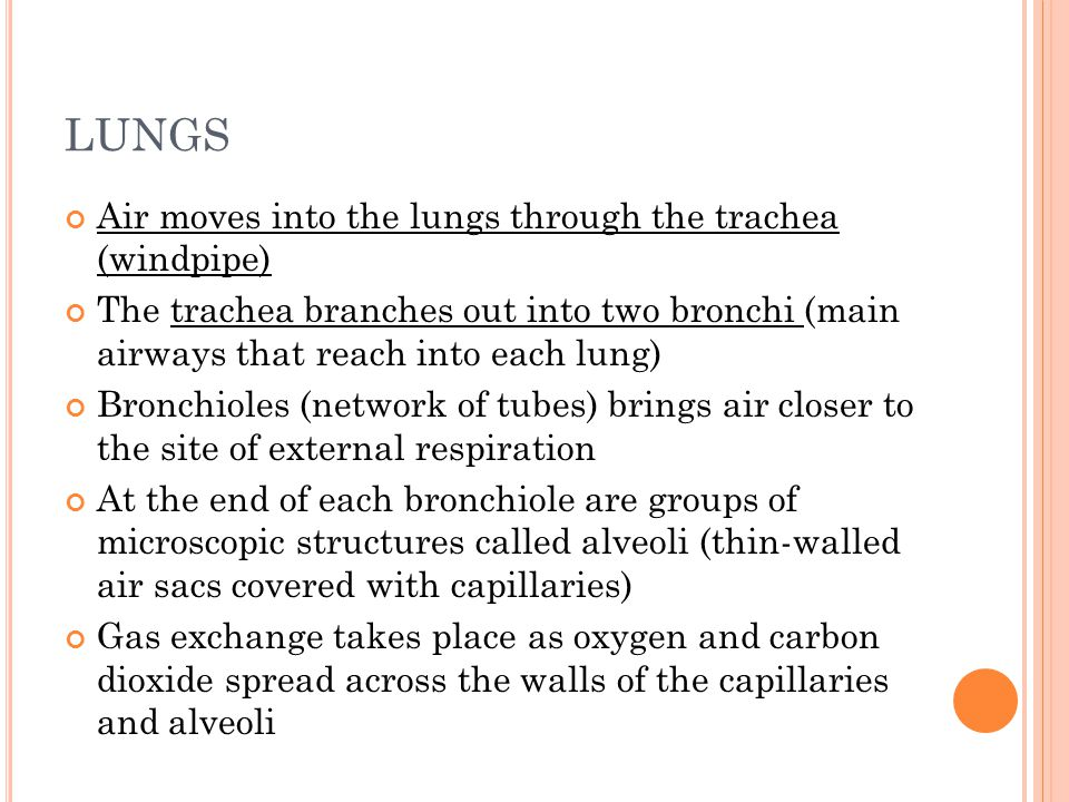 LUNGS Air moves into the lungs through the trachea (windpipe) The trachea branches out into two bronchi (main airways that reach into each lung) Bronchioles (network of tubes) brings air closer to the site of external respiration At the end of each bronchiole are groups of microscopic structures called alveoli (thin-walled air sacs covered with capillaries) Gas exchange takes place as oxygen and carbon dioxide spread across the walls of the capillaries and alveoli