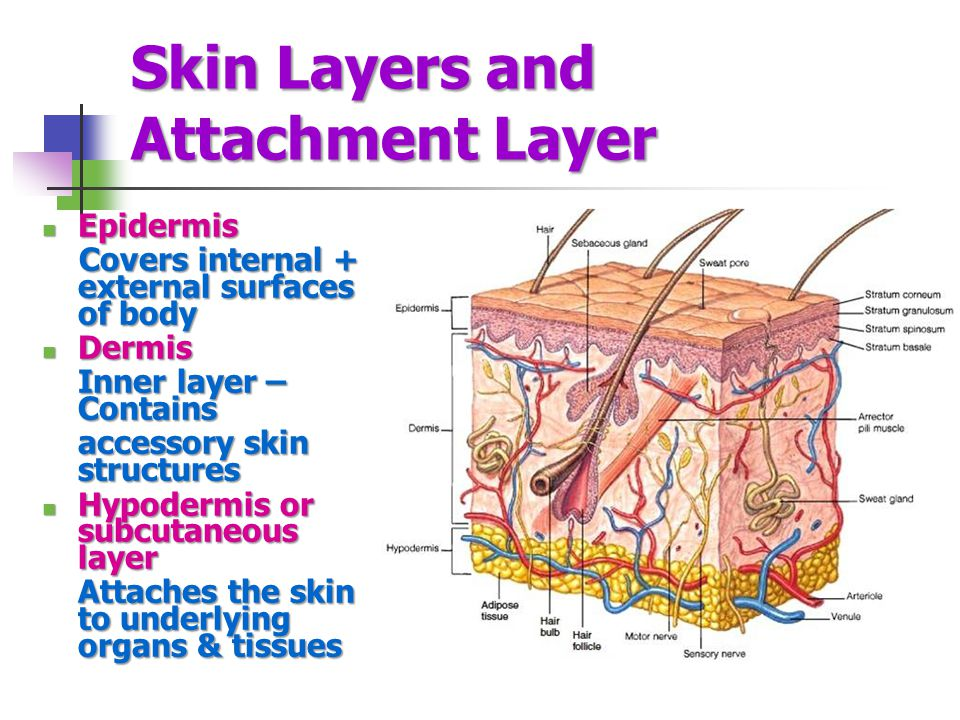 Skin Layers and Attachment Layer Epidermis Epidermis Covers internal + external surfaces of body Covers internal + external surfaces of body Dermis Dermis Inner layer – Contains accessory skin structures Hypodermis or subcutaneous layer Hypodermis or subcutaneous layer Attaches the skin to underlying organs & tissues