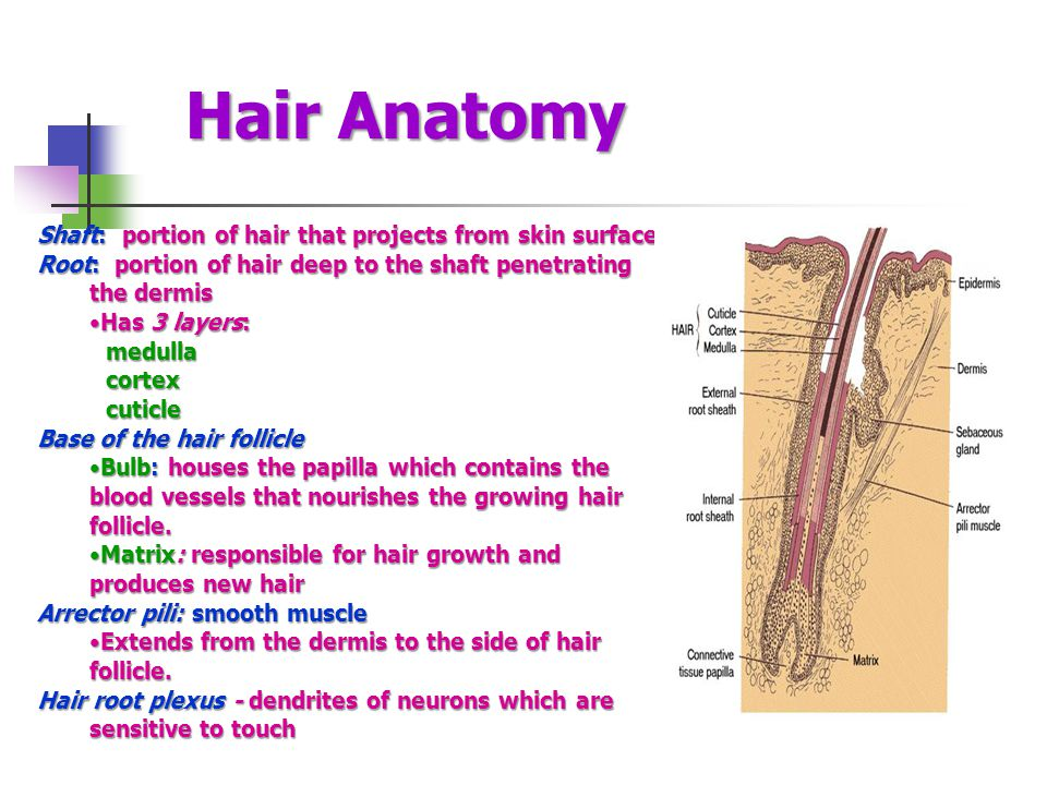Hair Anatomy Shaft: portion of hair that projects from skin surface Root: portion of hair deep to the shaft penetrating the dermis Has 3 layers:Has 3 layers: medulla medulla cortex cortex cuticle cuticle Base of the hair follicle Bulb: houses the papilla which contains the blood vessels that nourishes the growing hair follicle.Bulb: houses the papilla which contains the blood vessels that nourishes the growing hair follicle.