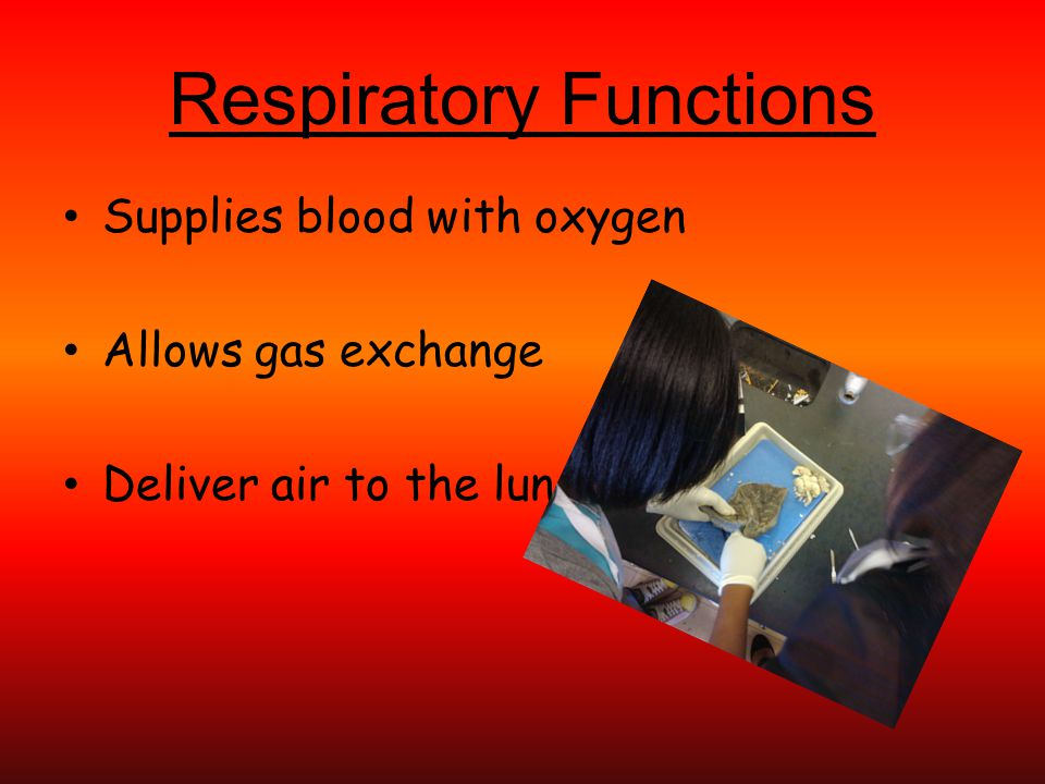 Respiratory Functions Supplies blood with oxygen Allows gas exchange Deliver air to the lungs