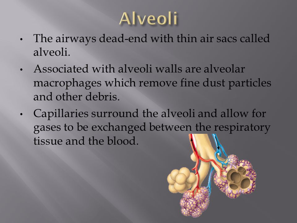 The airways dead-end with thin air sacs called alveoli. Associated with alveoli walls are alveolar macrophages which remove fine dust particles and ot