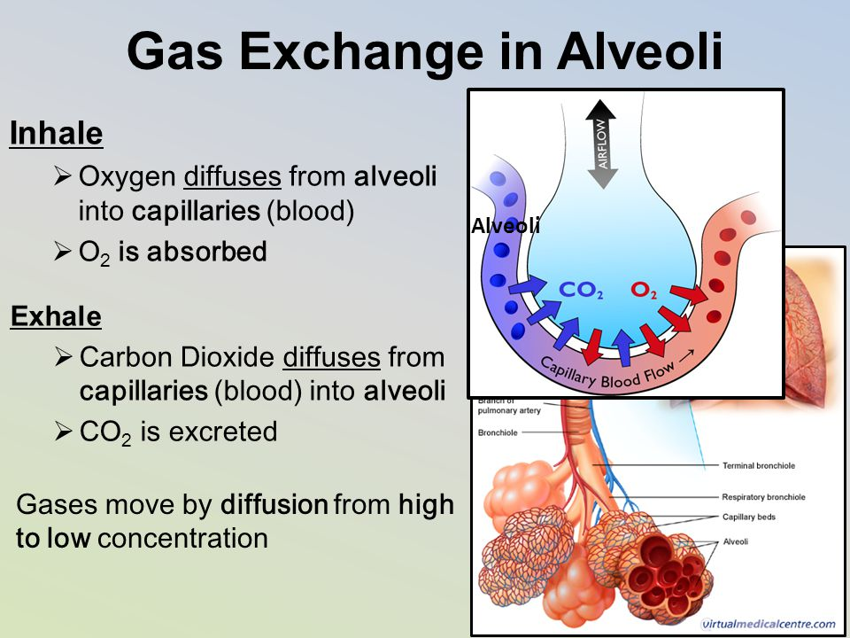 Gas Exchange in Alveoli Inhale  Oxygen diffuses from alveoli into capillaries (blood)  O 2 is absorbed Exhale  Carbon Dioxide diffuses from capilla