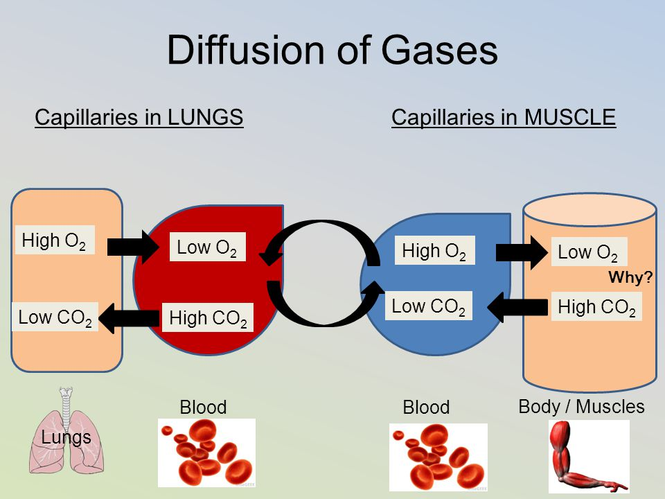 Diffusion of Gases Capillaries in LUNGS Capillaries in MUSCLE Blood Body / Muscles Low O 2 High CO 2 Low O 2 High CO 2 Low CO 2 High O 2 Lungs Why?