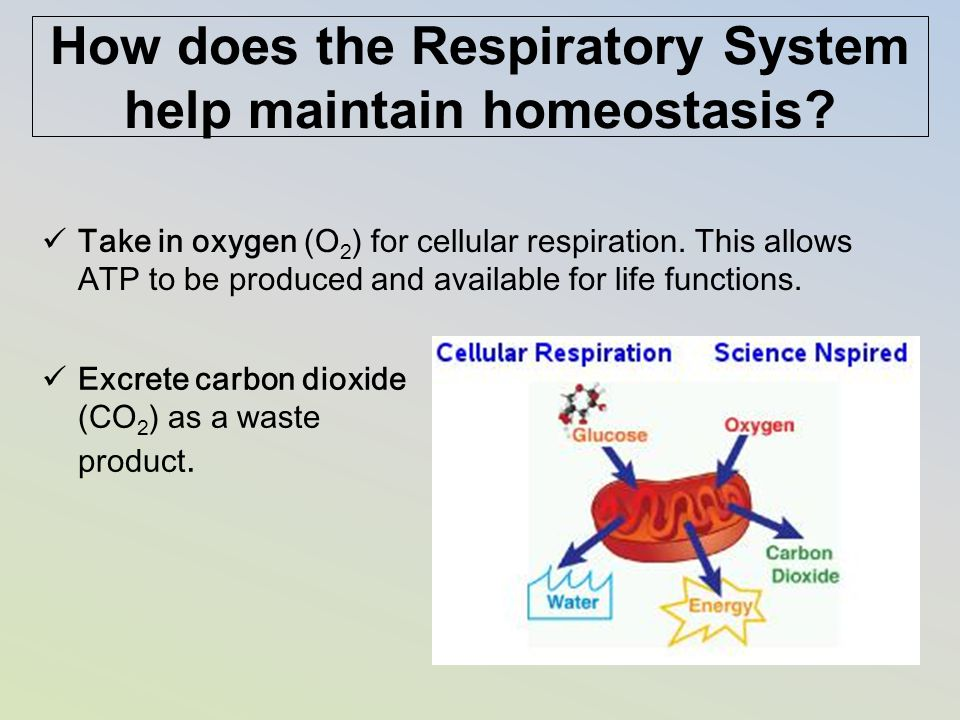 How does the Respiratory System help maintain homeostasis? Take in oxygen (O 2 ) for cellular respiration. This allows ATP to be produced and availabl