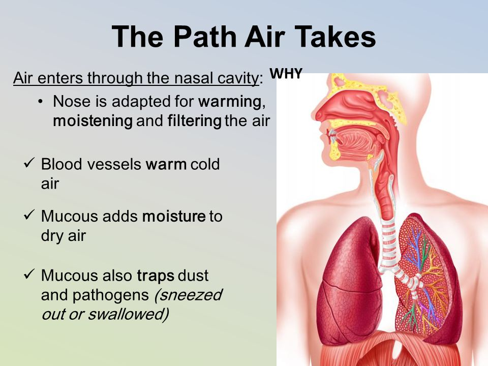 The Path Air Takes Air enters through the nasal cavity: Nose is adapted for warming, moistening and filtering the air Blood vessels warm cold air Muco