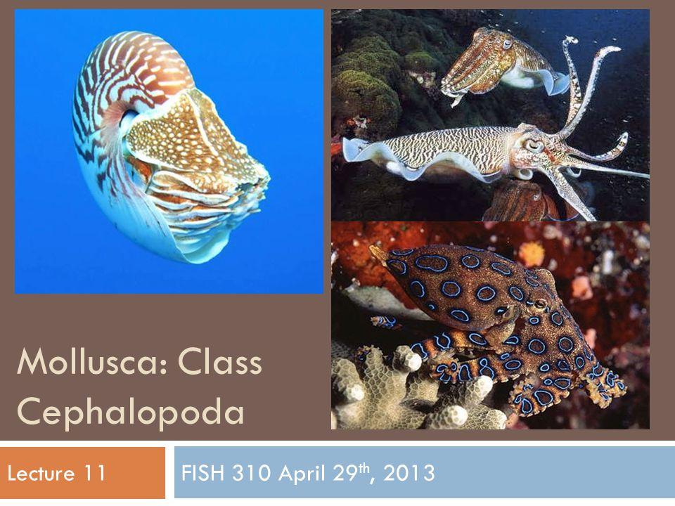 Mollusca: Class Cephalopoda FISH 310 April 29 th, 2013Lecture 11