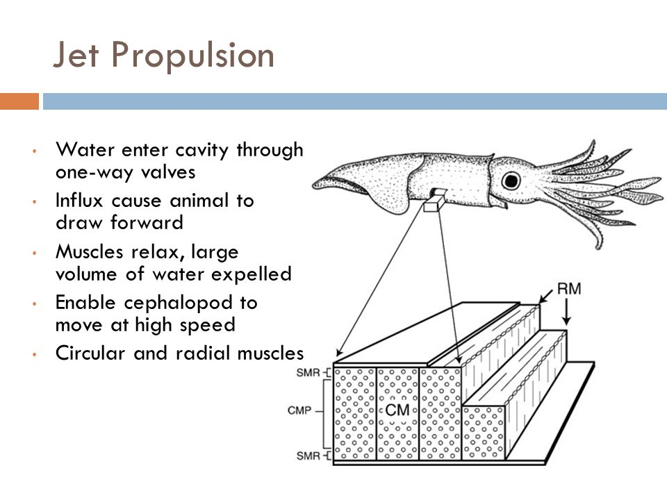 Jet Propulsion Water enter cavity through one-way valves Influx cause animal to draw forward Muscles relax, large volume of water expelled Enable cephalopod to move at high speed Circular and radial muscles