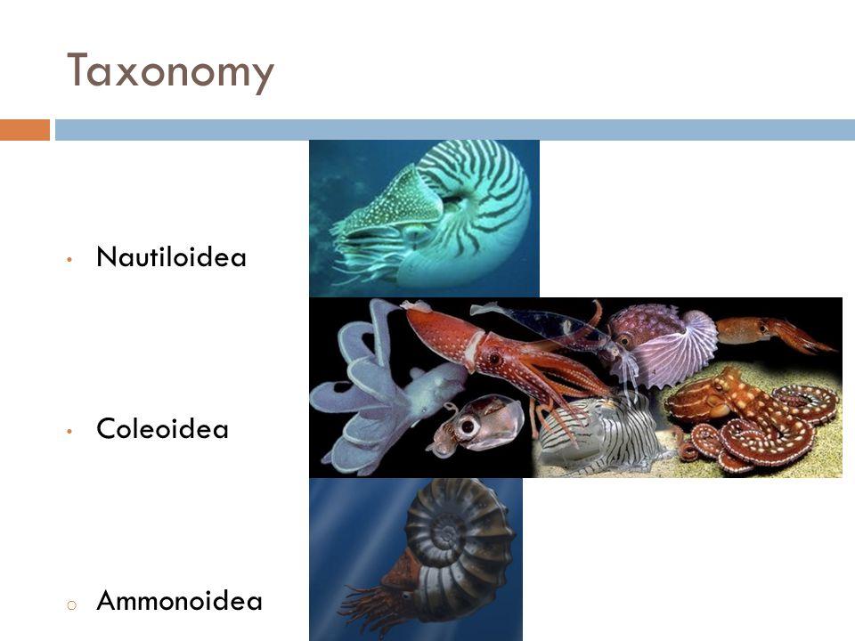 Taxonomy Nautiloidea Coleoidea o Ammonoidea