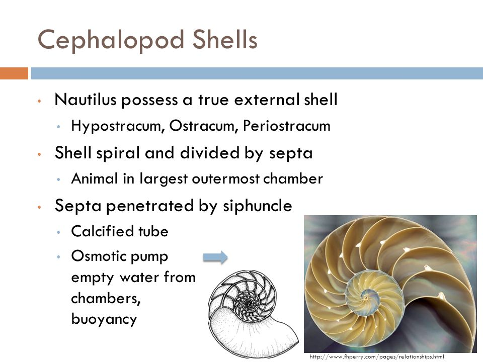 Cephalopod Shells Calcified tube Osmotic pump empty water from chambers, buoyancy http://www.fhperry.com/pages/relationships.html Nautilus possess a t