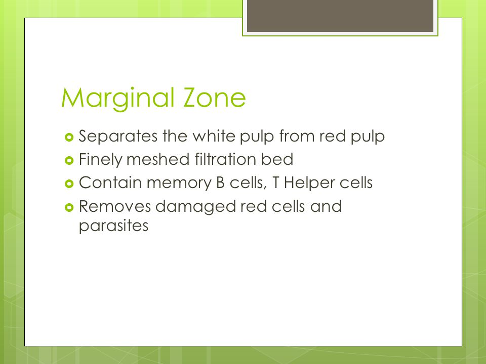 Marginal Zone  Separates the white pulp from red pulp  Finely meshed filtration bed  Contain memory B cells, T Helper cells  Removes damaged red cells and parasites