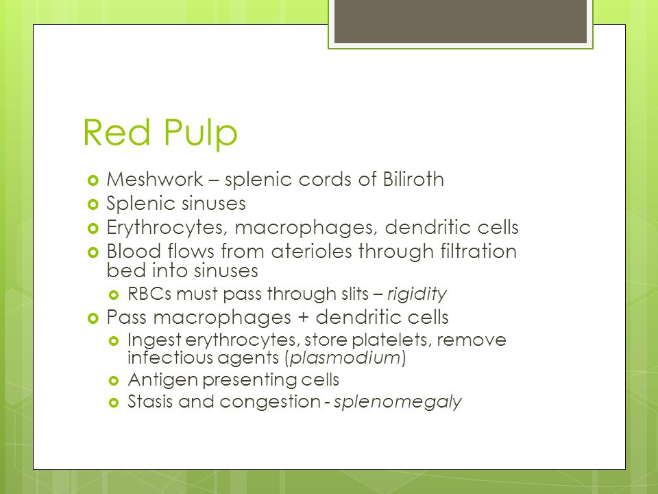 Red Pulp  Meshwork – splenic cords of Biliroth  Splenic sinuses  Erythrocytes, macrophages, dendritic cells  Blood flows from aterioles through filtration bed into sinuses  RBCs must pass through slits – rigidity  Pass macrophages + dendritic cells  Ingest erythrocytes, store platelets, remove infectious agents (plasmodium)  Antigen presenting cells  Stasis and congestion - splenomegaly