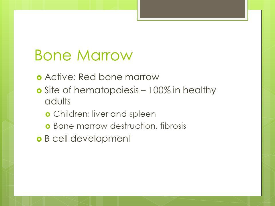 Bone Marrow  Active: Red bone marrow  Site of hematopoiesis – 100% in healthy adults  Children: liver and spleen  Bone marrow destruction, fibrosis  B cell development