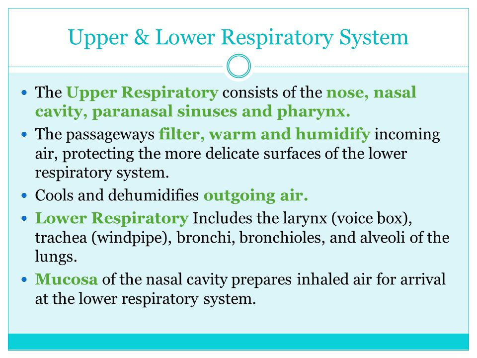 Upper & Lower Respiratory System The Upper Respiratory consists of the nose, nasal cavity, paranasal sinuses and pharynx.