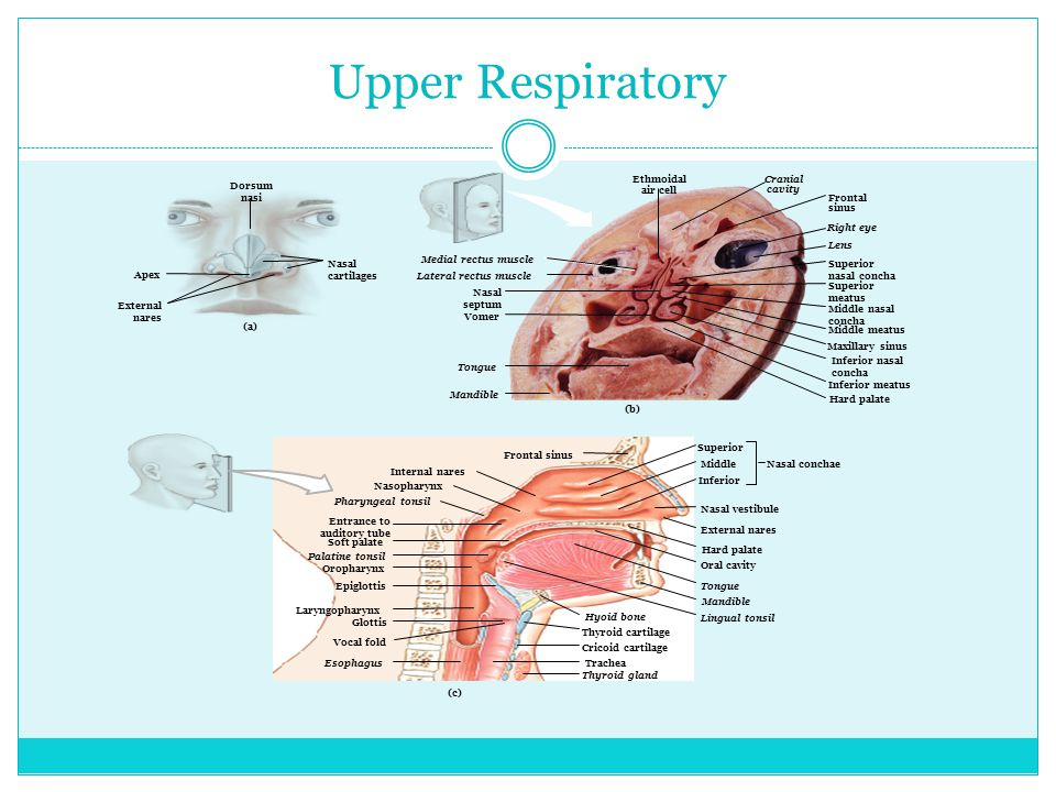 Respiratory Tract Consists of the airways that carry to and from the surfaces of your lungs.